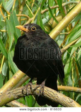 blackbird_05