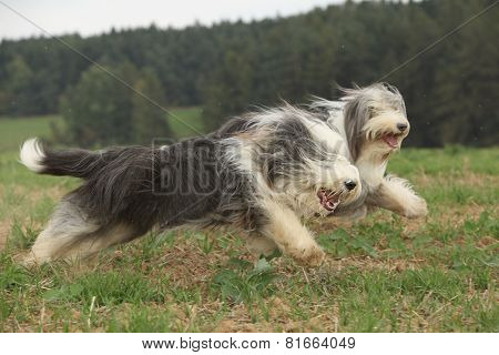 Two Amazing Bearded Collies Running Together