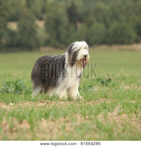 Beautiful Bearded Collie Standing In The Nature