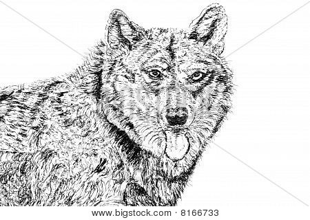 German shepherd alsatian dog over white background. Pen and ink hand drawn illustration by Marilyn Barbone. poster