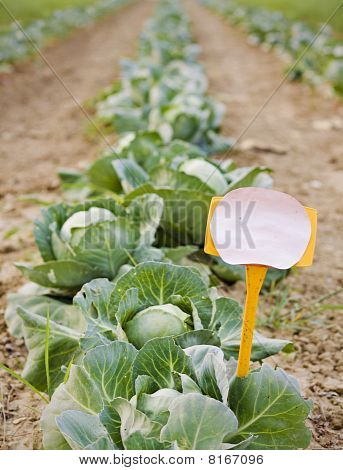 Empty Sign And A Row Of Cabbage