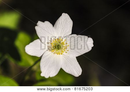 Wood Sorrel (Oxalis acetosella) in the forest