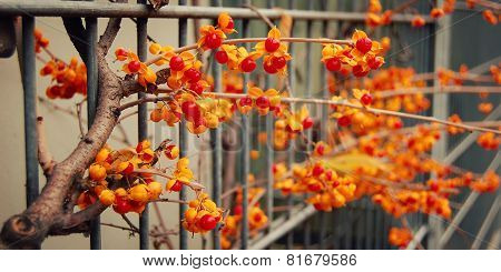 Decorative Spindle Bush With Orange Berries - Retro Effect.