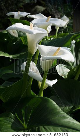 White Calla Lilies Vertical Image