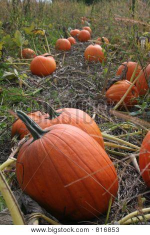 Pumpkin_9233