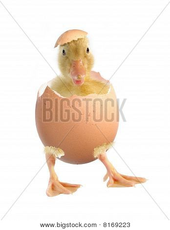 The Nestling The Duck And Shell Of Egg