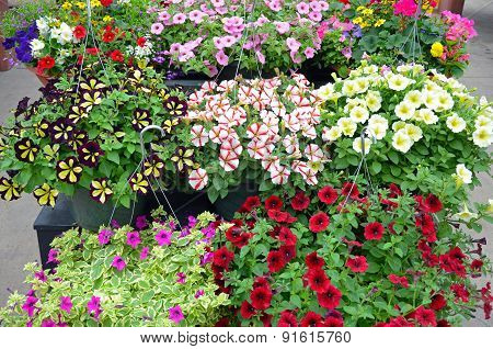 Colorful Petunia Flower Hanging Baskets