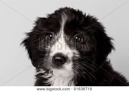 Closeup Mixed Breed Black Puppy Pitifully Looks