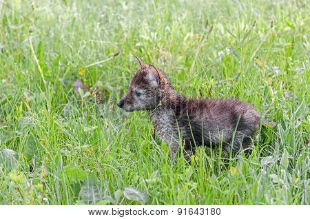 Coyote (canis Latrans) Pup Stands In Grassy Field