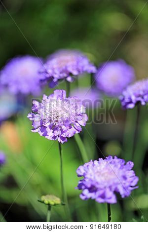 Scabious flowers