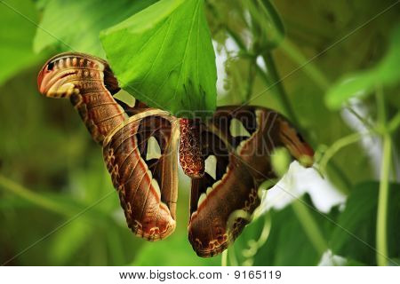 Underside Of An Atlas Moth