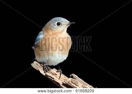 Female Eastern Bluebird On Black