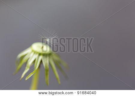 Single Seed On A Dandelion