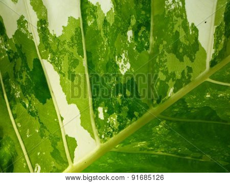 Sunlight through a variegated leaf