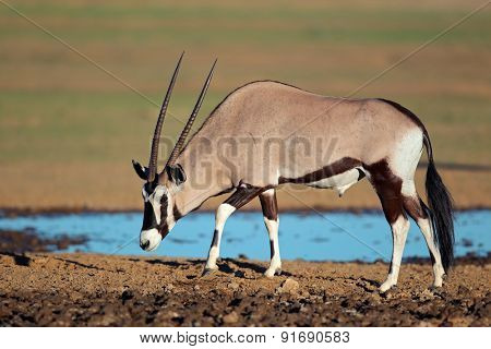 Gemsbok antelope (Oryx gazella) at a waterhole, Kalahari desert, South Africa