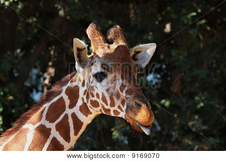 Brown spotted giraffe head with purple tongue and soft focus forest of trees poster