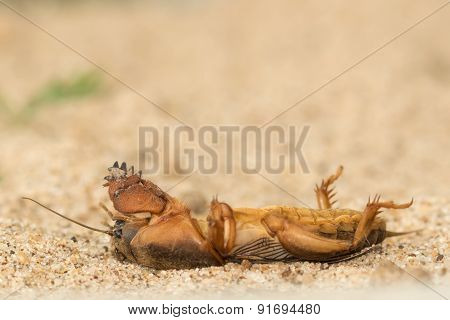 the mole cricket pretended to be dead poster