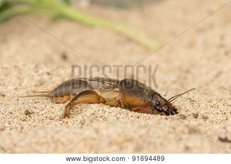 the mole cricket digs the soil hole poster