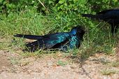 colourfull glossy starling having a dust bath poster