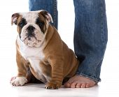 woman's legs with puppy sitting at her feet - bulldog poster