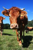 A close up of an inquisitive Limousin cow with flies on her nose peering at the camera. poster