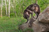 Black Wolf (Canis lupus) Watches Pup Climb up Rock - captive animals poster