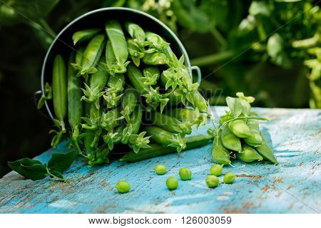 Fresh pea sprouts in little bucket on green background.