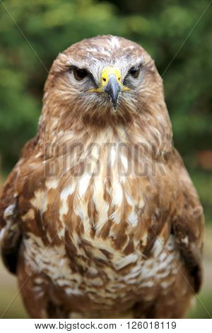 Close Up Of A Common Buzzard On Natural Environment