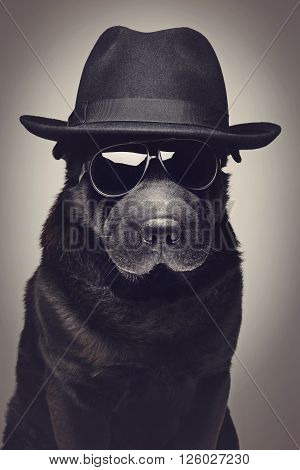 Beautiful black shar pei dog in hat and sunglasses.