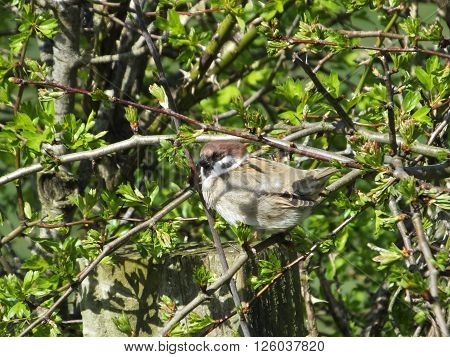 Tree Sparrow in a hawthorn hedge on a sunny but rather cool day in the spring