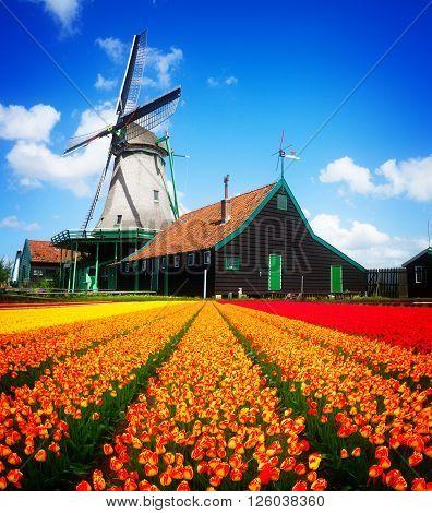 dutch windmill over orange tulips field , Holland, retro toned