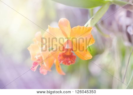 Orange orchid cattleya in the farm with sunlight