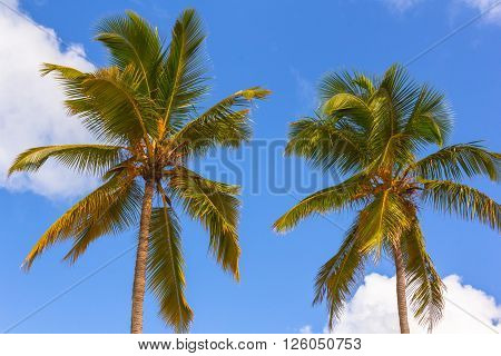 Two Palm trees and Sky with Clouds