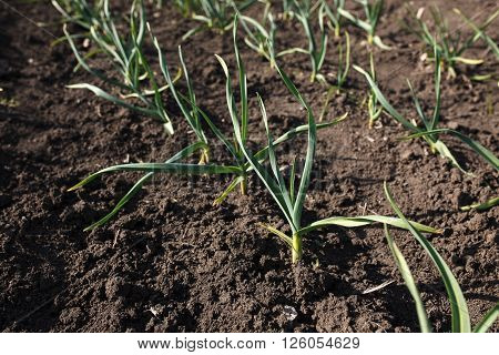 Spring garlic sprouts in a large garden