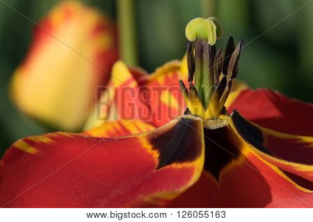 Stamen and anther temple of a red and yellow petal Tulip.