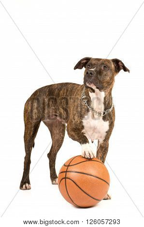 Pit bull terrier isolated on white standing with basketball ball