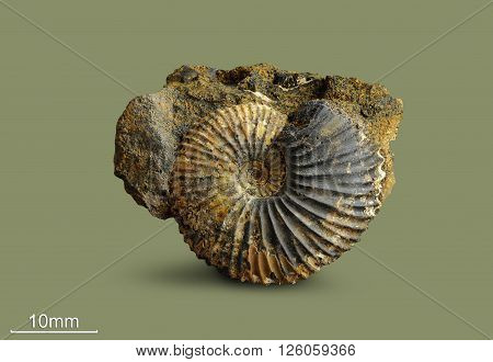 Ammonite - fossil mollusk.