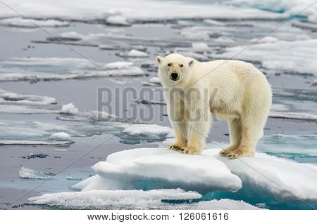 Spitsbergen Polar Bear on chunk of sea ice