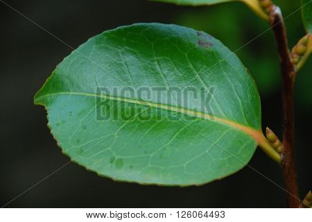 Close up of a single dark green leaf.