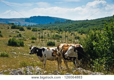 Cows on a pasture, Panoramic view of Pešter plateau landscape in southwest Serbia