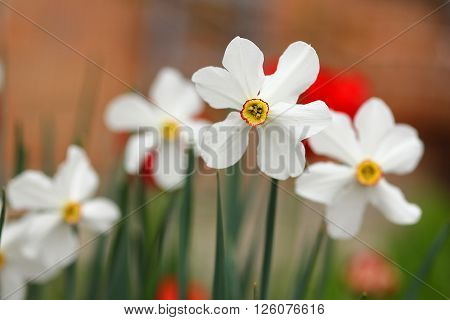avery nice a  beautiful white daffodil flower