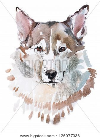 aquarelle painting of grey dog head, wolf's face watercolor drawing.