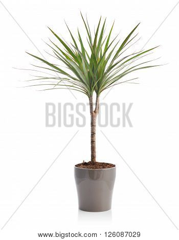Dracaena in a flower pot the isolated on white background
