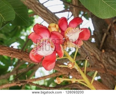 Red cannonball flower or sal (Couroupita guianensis)