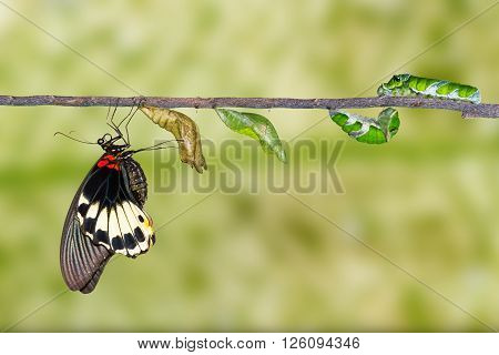 Life cycle of female great mormon butterfly from caterpillar