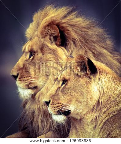 A lion and a lioness gazing at the end of the day. ** Note: Visible grain at 100%, best at smaller sizes