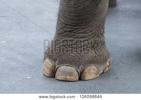 Big elephant leg and toe on cement road/Elephant leg