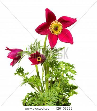 Pasqueflower or meadow anemone on white background it´s used for medical purpose in homeopathic medicine very often fo womans disease.