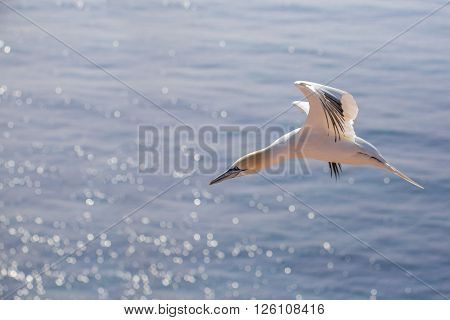 Flying Northern Gannet, Helgoland Germany