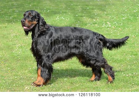 Typical Gordon Setter in the spring garden